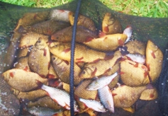 A superb bag of crucians taken by club bailiff John Bennet from Wood Bevington in 2013.